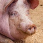 Chinese port workers infected by #coronavirus on pig heads arriving from North America