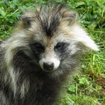 Raccoon dogs can be infected with #SARSCoV2 and can spread it among themselves