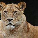 Four lions test positive for #Covid19 at #Barcelona Zoo, #Spain