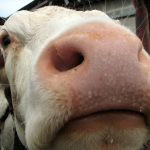 """Experimental Infection of #Cattle with #SARSCoV2. """"We demonstrated viral replication in 2 of the inoculated animals"""""""