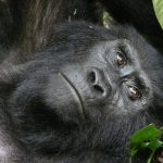 Gorillas test positive for #coronavirus at San Diego park