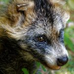 Study demonstrates that #Raccoon dogs are susceptible to #SARSCoV2 infection and can transmit the virus to direct in-contact animals