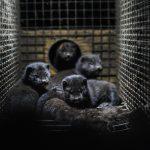 Galicia reports a new outbreak of #coronavirus on a mink farm