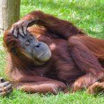 Orangutans at San Diego zoo receive first #coronavirus vaccine made for animals