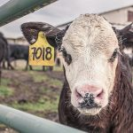 CDC: Experimental infection of cattle with SARS-CoV-2 #coronavirus
