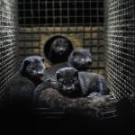 Mink: 100% infection, recovery and then 75% re-infection of farmed mink