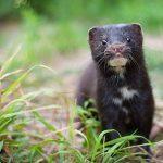 Denmark: work begins to exhume millions of #coronavirus contaminated mink