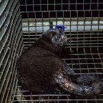 UK: 67 scientists write open letter imploring fur ban to prevent #coronavirus pandemic risk