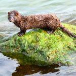 Spain: SARS-CoV-2 #coronavirus infection in two feral American mink (Neovison vison) caught in the wild