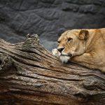India: The condition of two #coronavirus positive lionesses at Etawah Lion Safari deteriorates