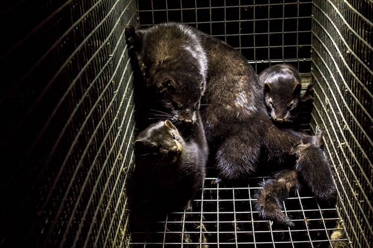 Mink found infected with Covid-19 after they escaped their cages on Farm in British Columbia, Canada
