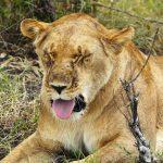 India: Neela the lioness dies of #coronavirus infection at Vandalur zoo - UPDATED