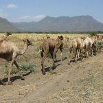 Africa: <b>The Andromedary Strain</b> - the next #coronavirus pandemic waiting in the wings