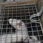 Sweden: farmed mink outbreaks saw mink infecting humans with #coronavirus