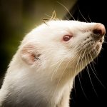 UK: New registry for keepers of mink, ferrets, polecats, stoats & hybrids  #coronavirus